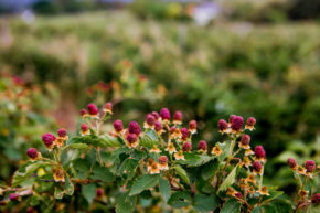 Berry picking in Swellendam