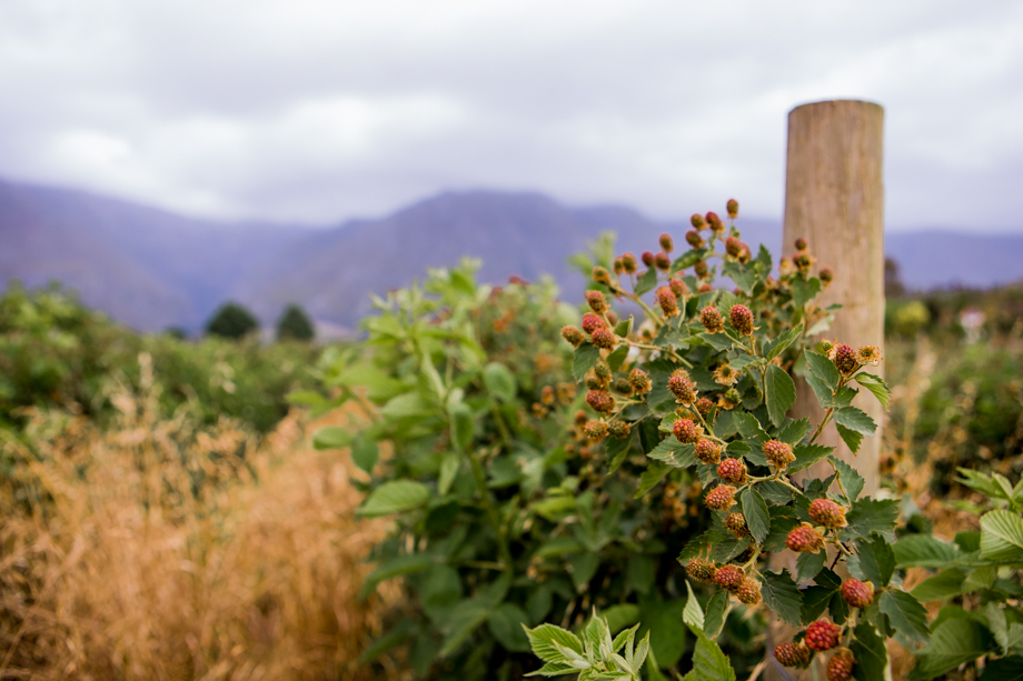 Berry picking in Swellendam